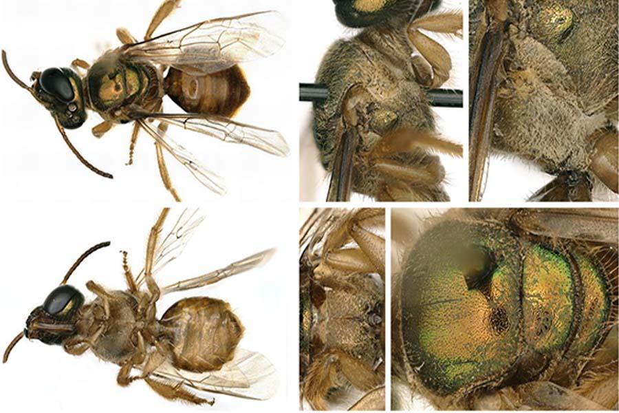 El lado derecho, o el lado femenino, del cuerpo de la abeja era más peludo y tenía una pata trasera más robusta. (Crédito de la imagen: fotos de Chelsey Ritner)