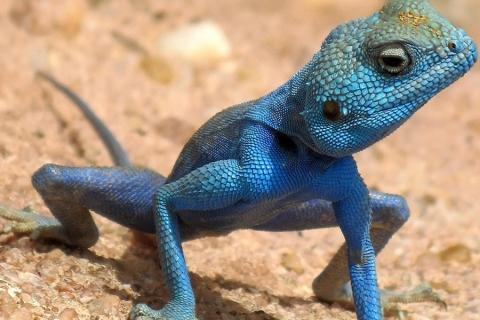 El lagarto azul del Gorgona